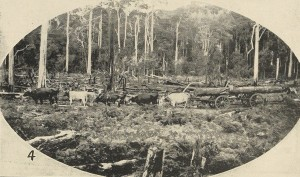 Harvesting blackwood by bullock team near Smithton. From the Tasmanian Mail, 12 September 1918.